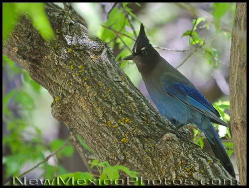 A Stellers Jay pauses as it hops from branch to branch while foraging for a meal