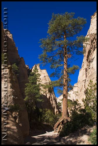 The giant ponderosa guarding the entrance to the slot canyon at Kasha-Katuwe Tent Rocks National Monument