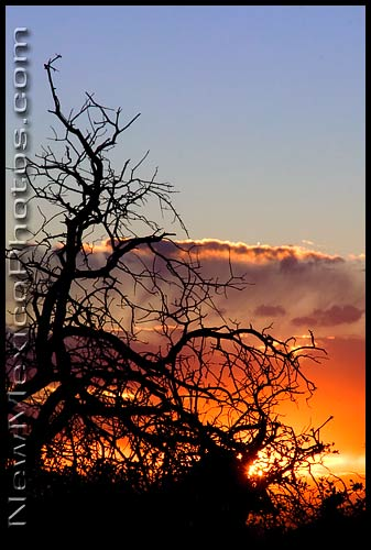 An old tree at sunset, in the Sandia foothills