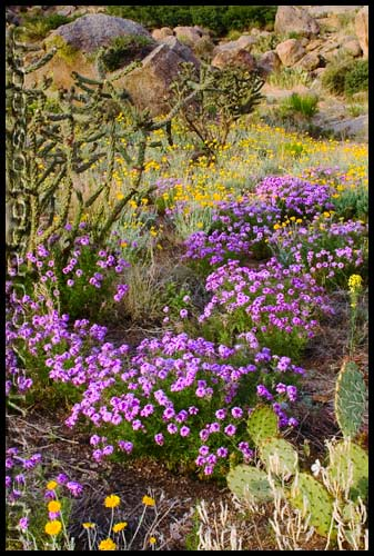 An abundance of multi-colored wildflowers in the Sandia foothills set the spring of 2007 apart from most others