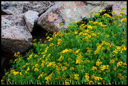 Wildflowers grow right up against the granite of the western face of the Sandia mountains