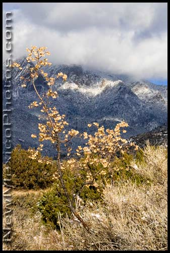A reminder of fall against the wintry slopes of the Sandia Mountains