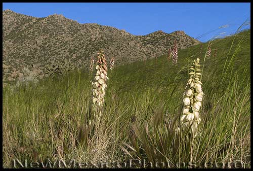 Yuccas sway in the wind amidst the blowing grass of the Sandia foothills