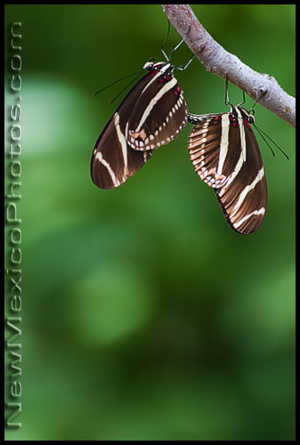 A pair of zebra longwing butterflies mate at the PNM Butterfly Pavilion