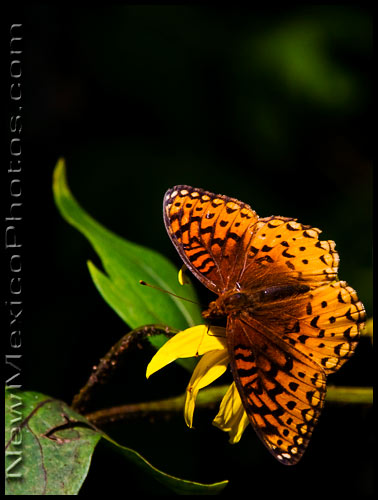 An Atlantis Fritillary butterfly in the Sandia mountains