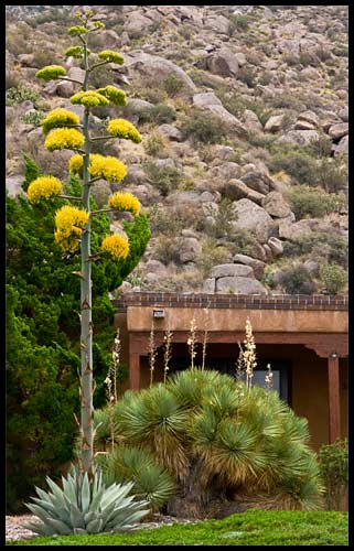 a century plant blooming in a yard right up against the Sandia foothills
