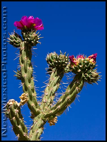 a cholla cactus blooms against a classic New Mexican sky