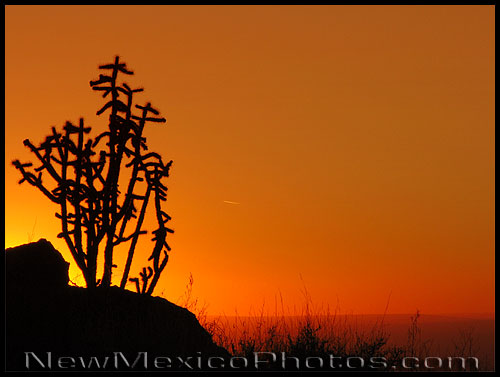 a cholla cactus is silhouetted by the sunset