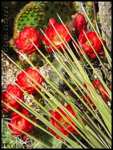 claret cup cactus blossoms