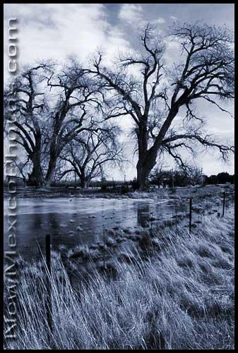 The bare branches of two cottonwood trees protect one side of a flooded field near Mountainair