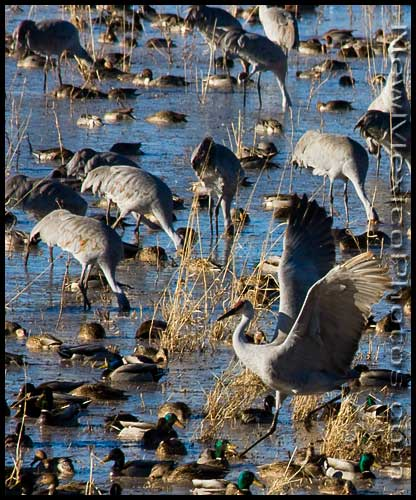 Sandhill cranes and mallard ducks mingle in a flooded field at Bosque del Apache National Wildlife Refuge