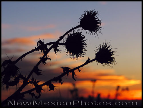 dried thistles in the Sandia foothills, silhouetted by sunset