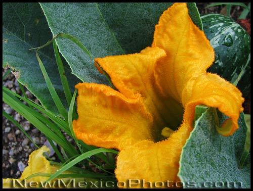a gourd vine blossom -- and gourd