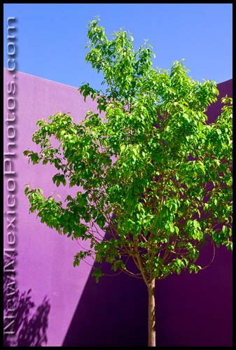 a tree in a small courtyard at the Hispanic Cultural Center, in Albuquerque