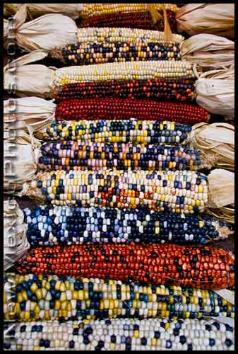 colorful ears of Indian corn