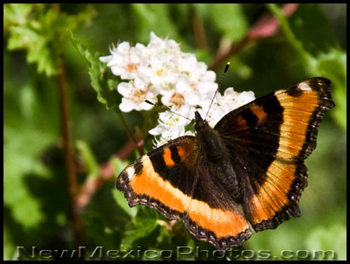 a Milbert's Tortoiseshell butterfly, found in the Jemez