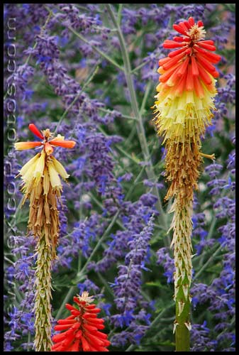 red hot pokers with Russian sage in the background, spotted in Albuquerque