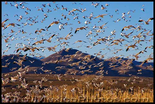 Flocks of snow geese fly over Bosque del Apache, in the Rio Grande Valley