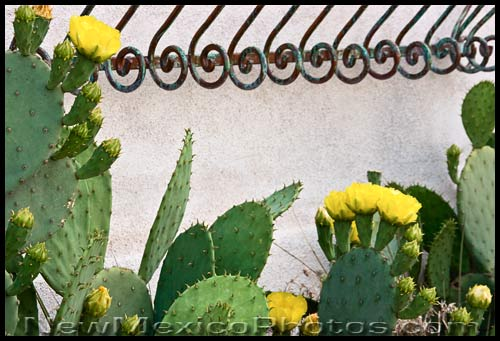 Prickly pear cactuses bloom beneath a window decorated with wrought iron