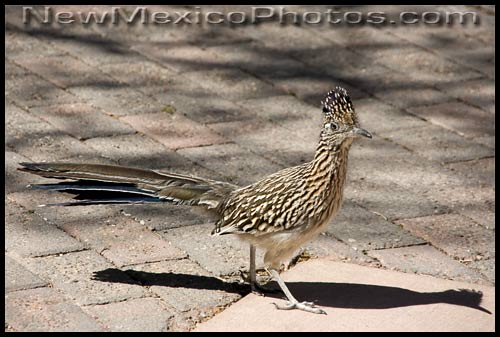 A roadrunner, the state bird of New Mexico, and his shadow
