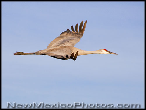 a sandhill crane flies along the Rio Grande Valley migratory path