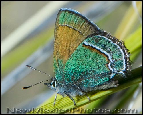 A Sandia Hairstreak -- the state butterfly of New Mexico