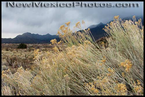 Wind blows through dried chamisa as a late winter storm moves through the Sandias
