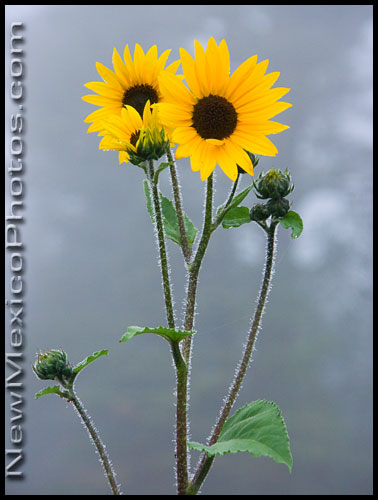 A trio of sunflowers in the foggy Sandia mountains