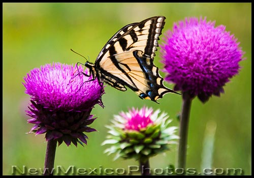 a western tiger swallowtail sips nectar from a thistle