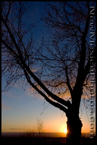 A tree -- right on the cusp between winter and spring -- is silhouetted by the setting sun