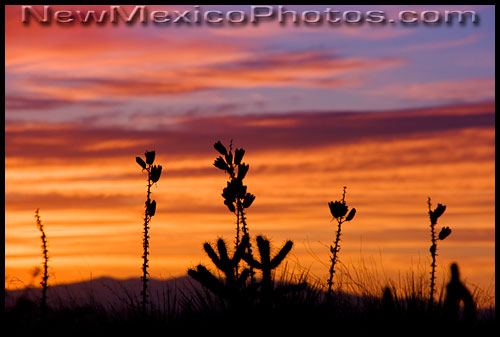 Dried yucca stalks from last year are silhouetted by the setting sun