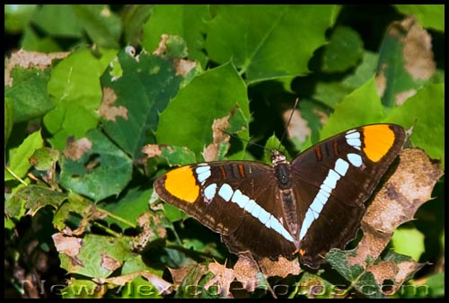 a California Sister butterfly (Adelpha bredowii)