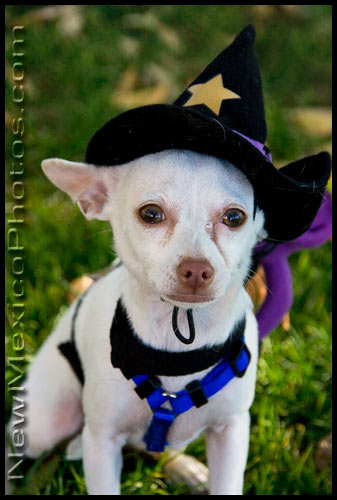 a little chihuahua poses in his Halloween costume