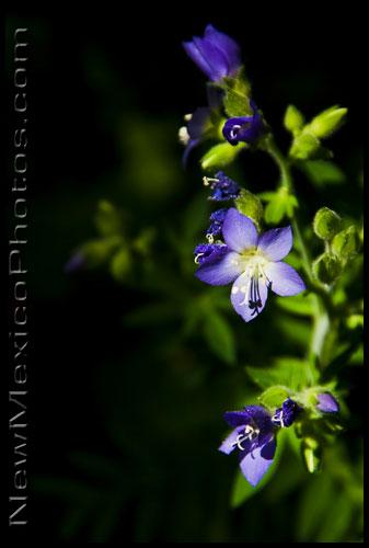 jacobs ladder wildflowers growing in the Sandias