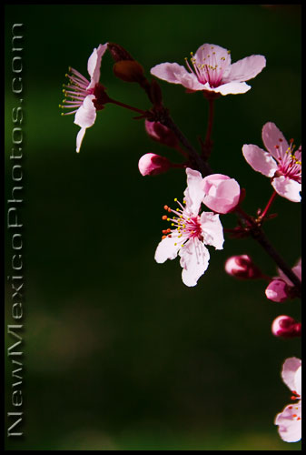 pink plum blossoms on a green background