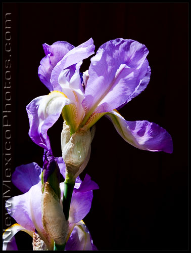 an iris, blooming in New Mexican sunshine