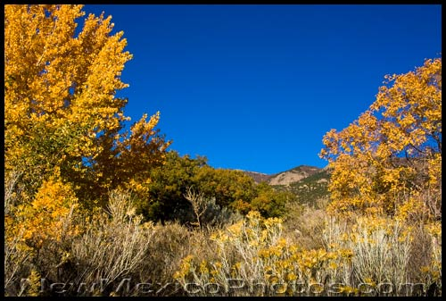 chamisa and yellow trees in the foothills of the sandias