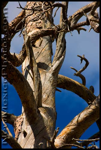 an old twisted tree in the Sandia Mountains