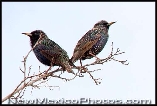two starlings perched on a winter branch